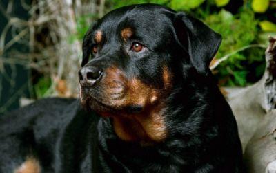 ROTTWEILER Dog Dogs Wallpaper