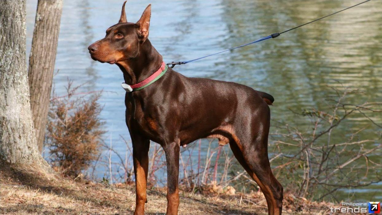 DOBERMAN PINSCHER dog dogs wallpaper