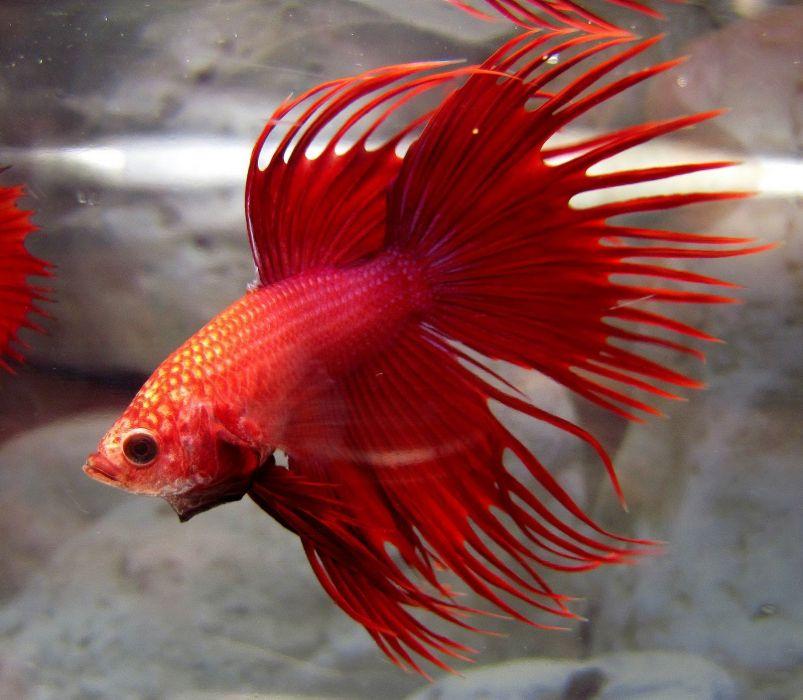 BETTA Siamese Fighting Fish colorful tropical wallpaper