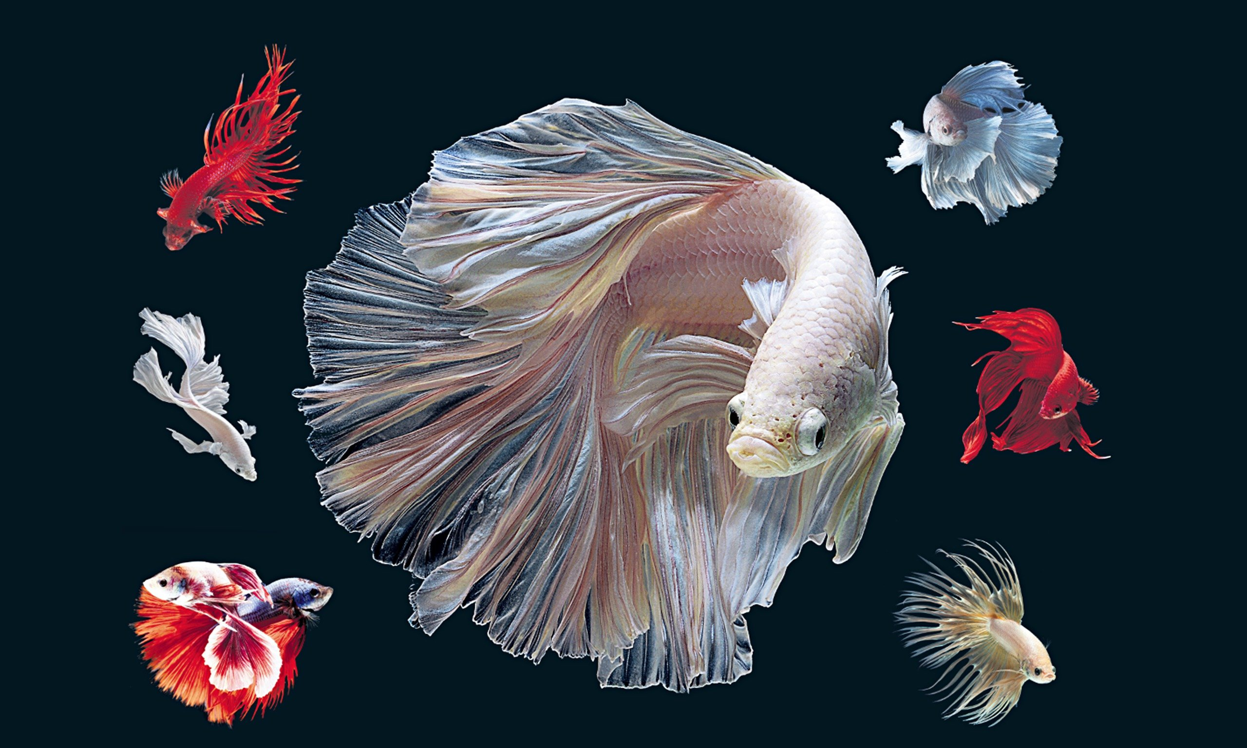 BETTA Siamese Fighting Fish colorful tropical wallpaper ...