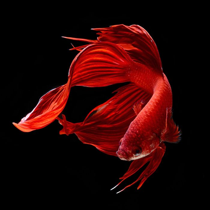 BETTA Siamese Fighting Fish colorful tropical wallpaper