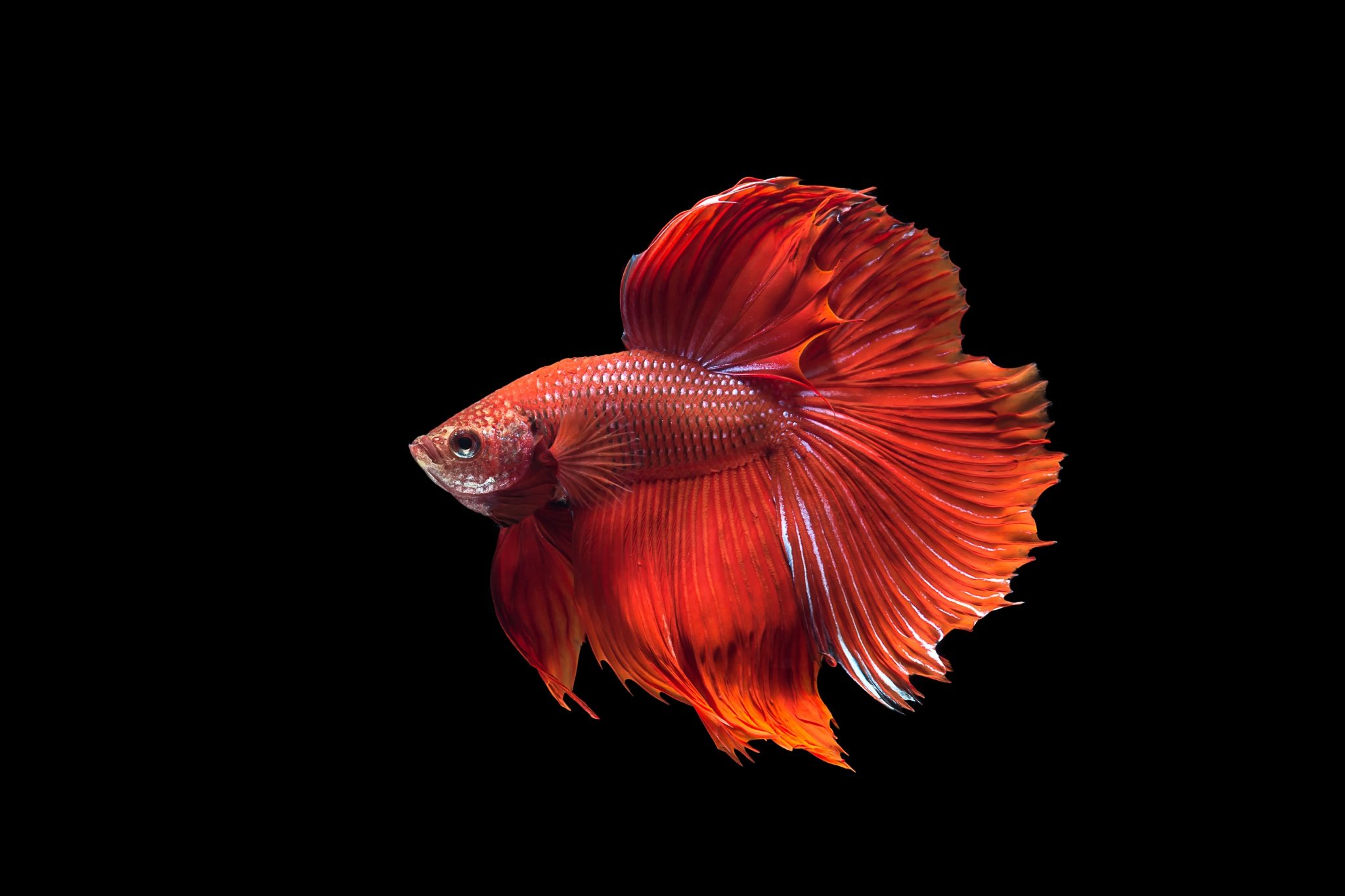 BETTA Siamese Fighting Fish colorful tropical wallpaper | 2048x1365 ...