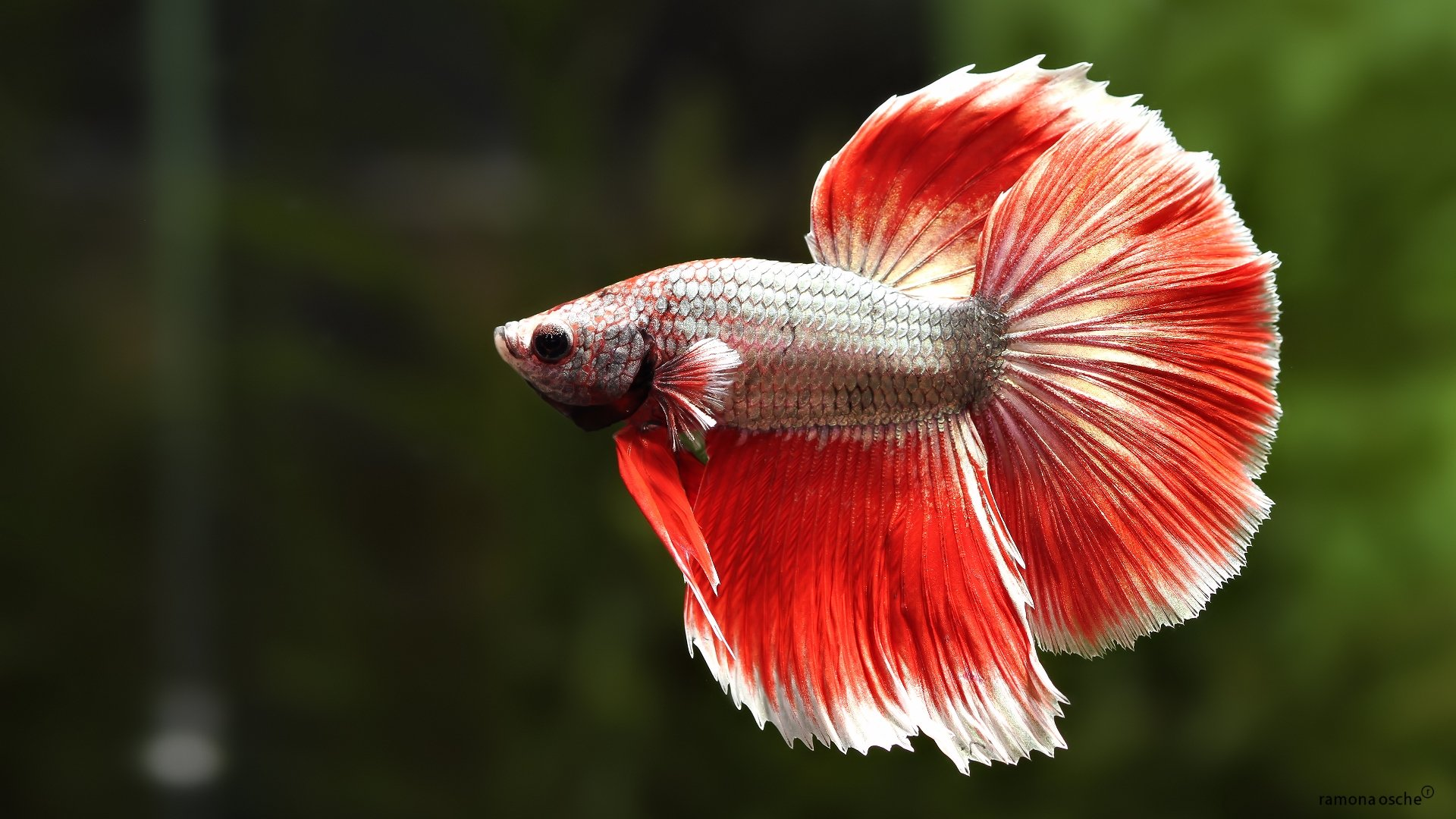 BETTA Siamese Fighting Fish colorful tropical wallpaper ...
