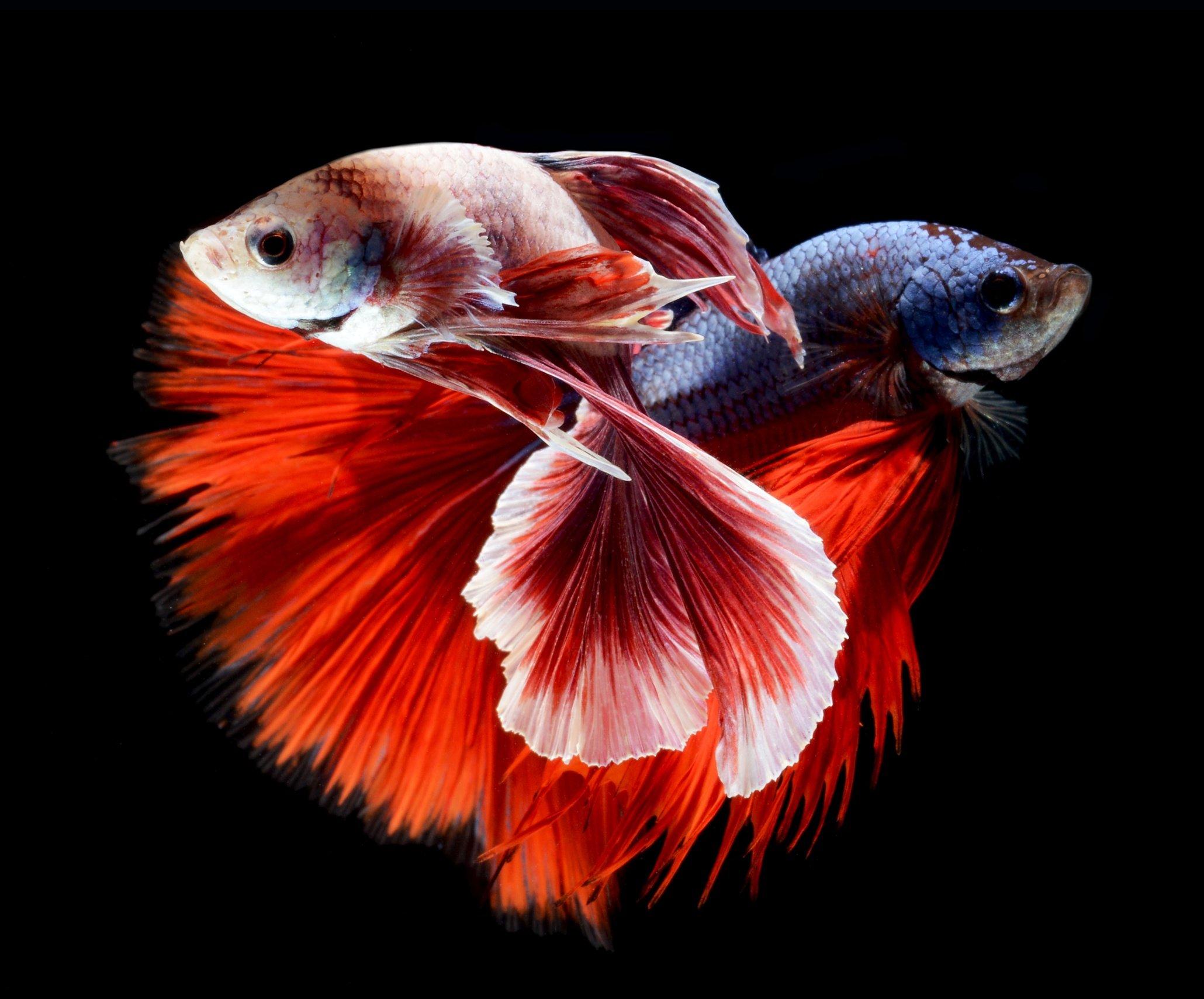 Betta siamese fighting fish colorful tropical wallpaper for Betta fighting fish