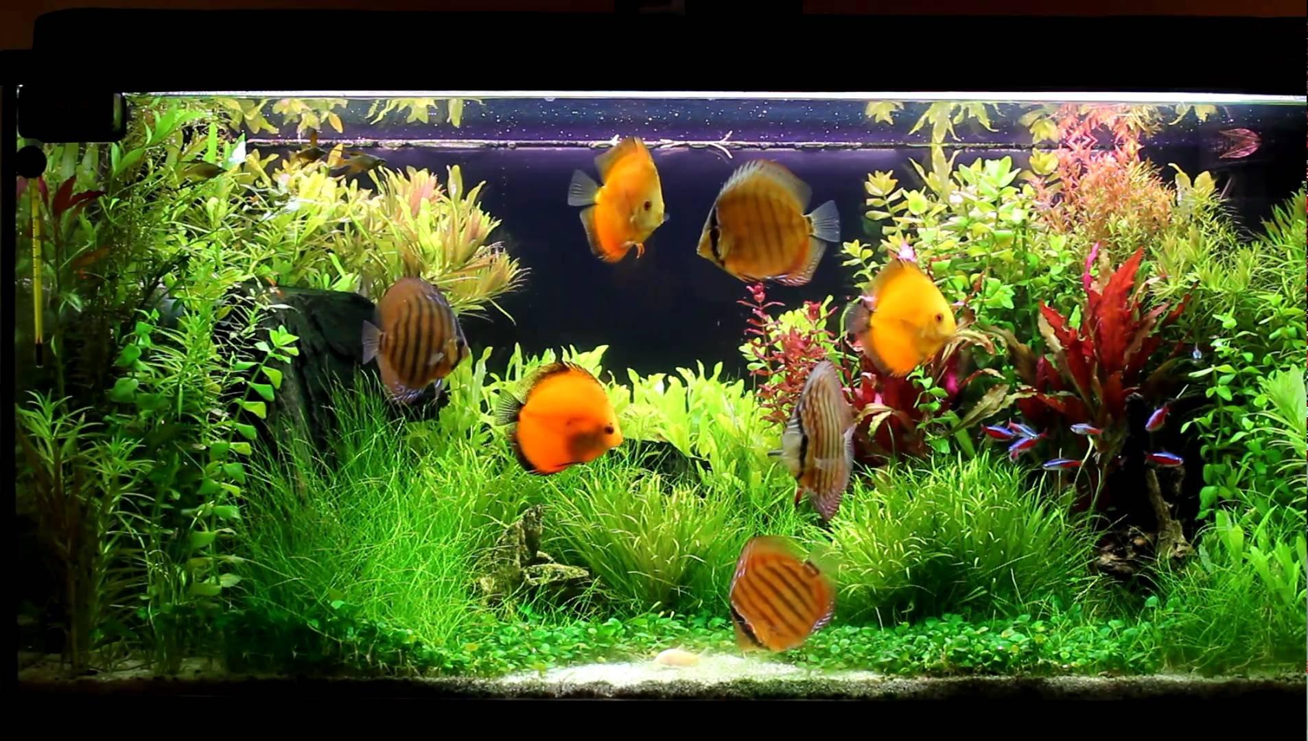 DISCUS tropical fish wallpaper   1906x1080   519953 ...
