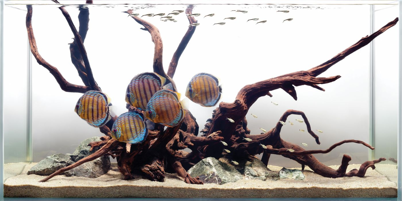 DISCUS tropical fish wallpaper