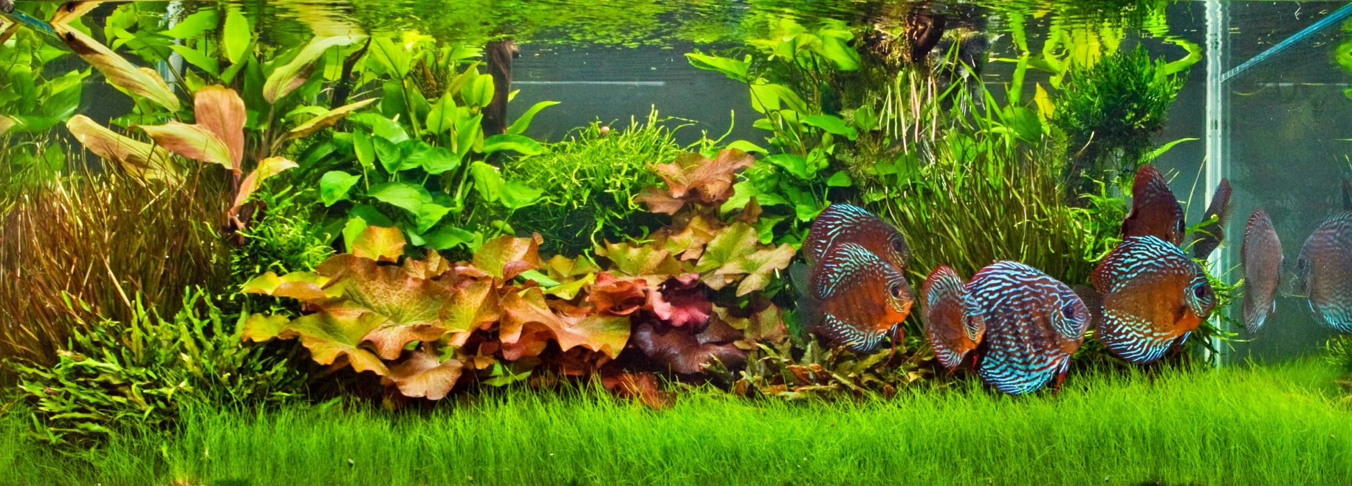 DISCUS tropical fish wallpaper