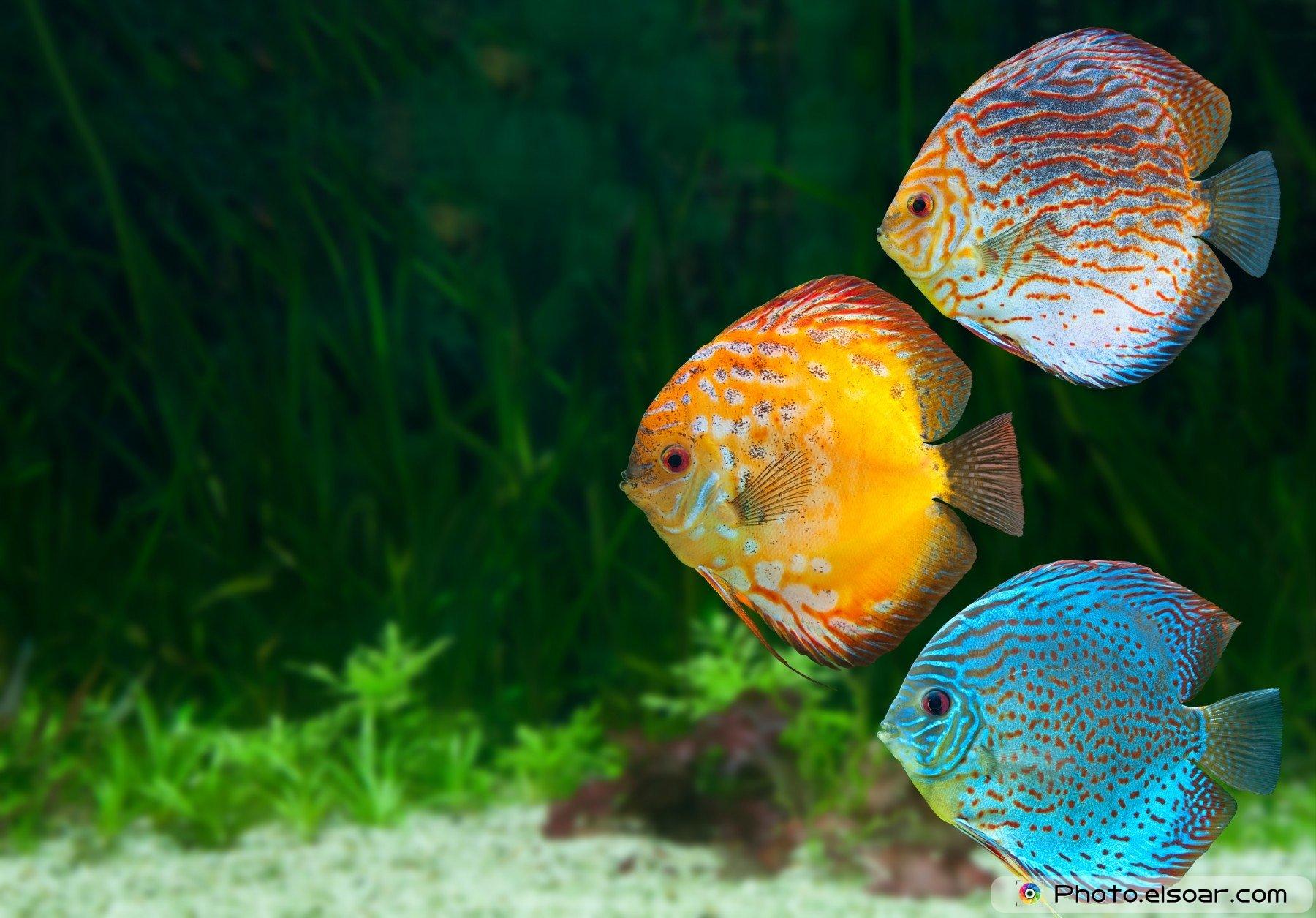 discus tropical fish wallpaper 1800x1255 519963