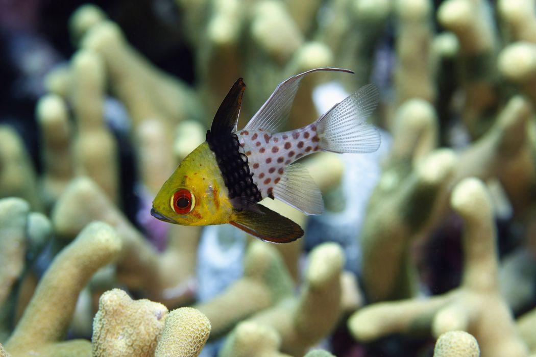 CARDINALFISH tropical fish ocean sea wallpaper