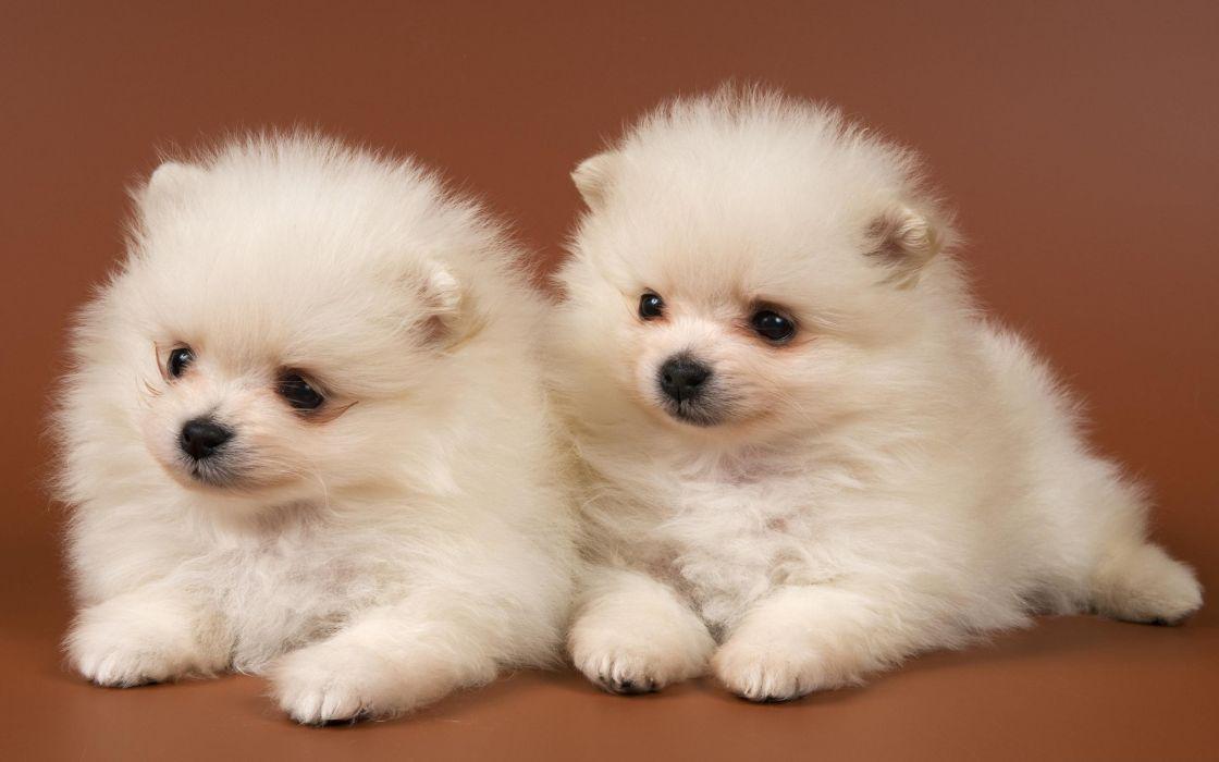 POMERANIAN dog dogs wallpaper