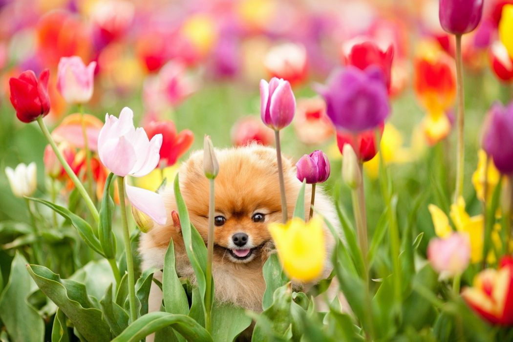 POMERANIAN dog dogs wallpaper