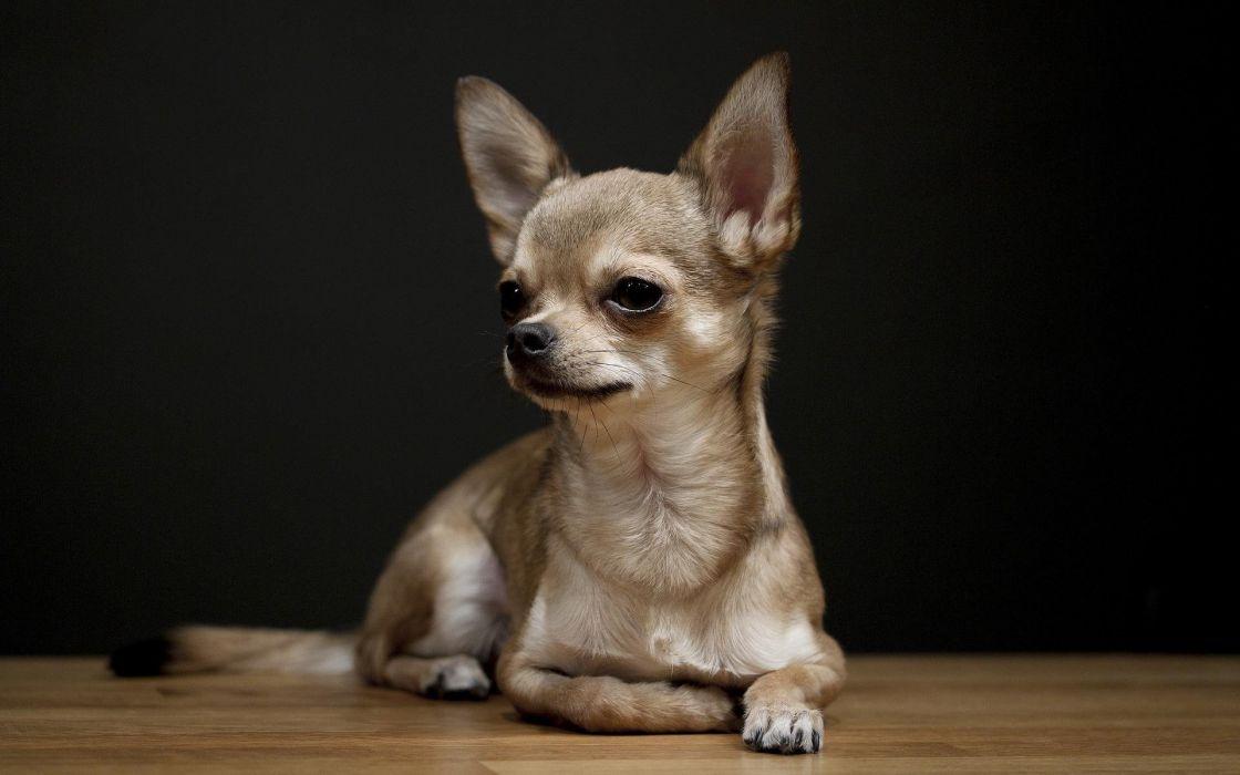 CHIHUAHUA dog dogs wallpaper