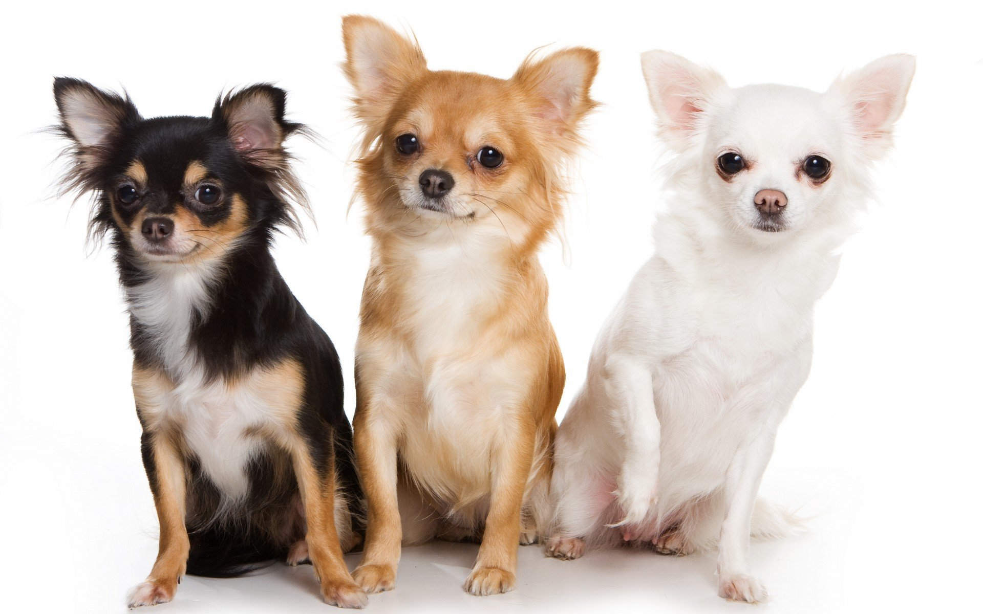 Chihuahua dog dogs wallpaper 1920x1200 520444 wallpaperup voltagebd Images