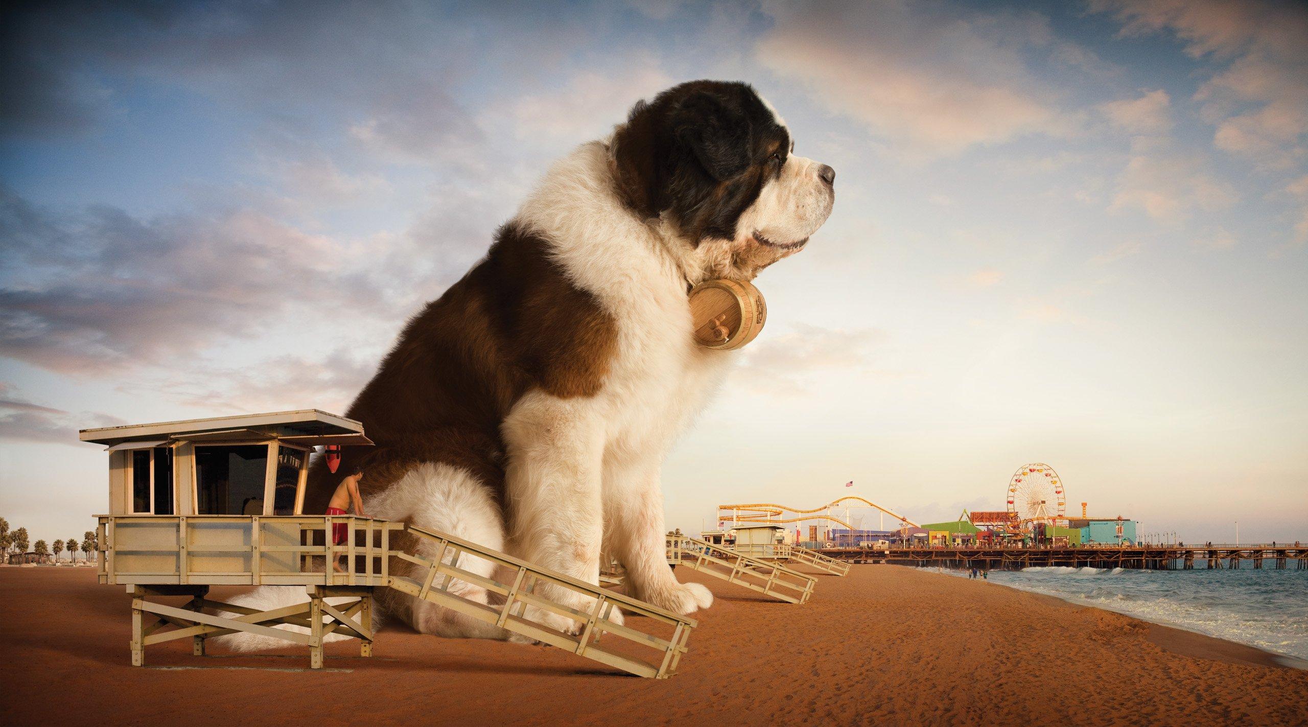ST BERNARD Dog Dogs Wallpaper