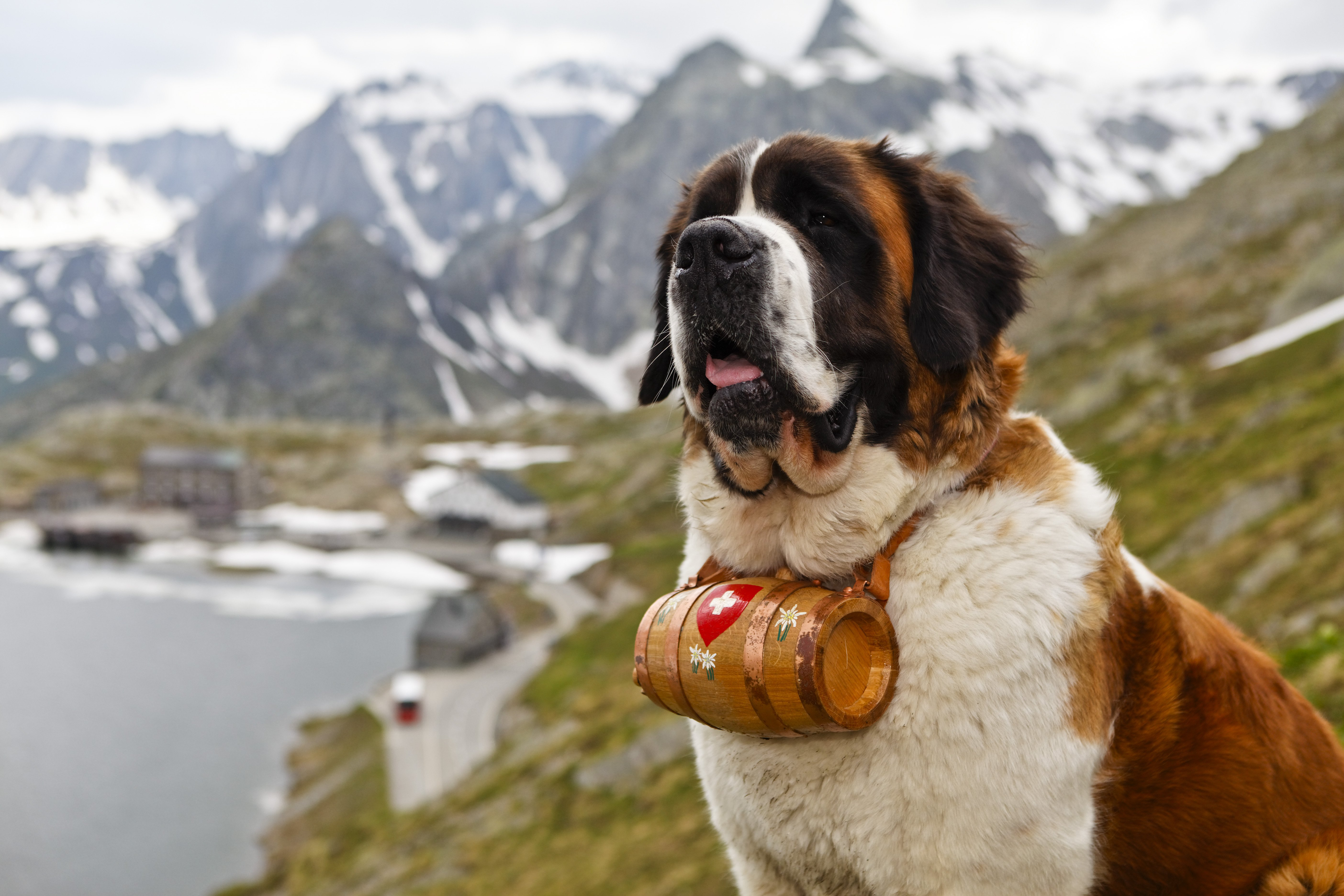 ST BERNARD Dog Dogs Wallpaper