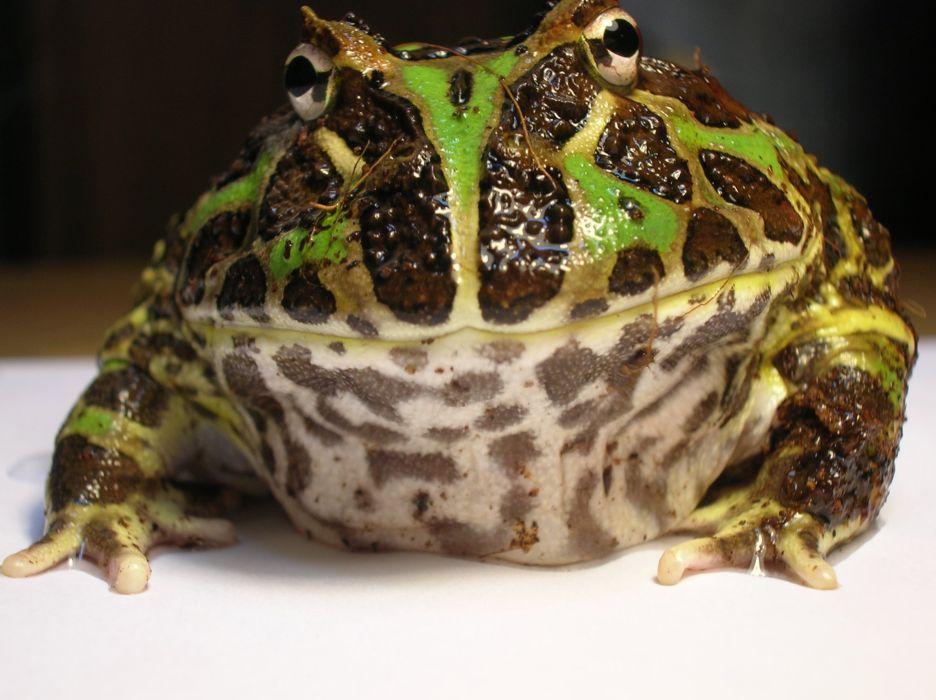 HORNED FROG frogs wallpaper