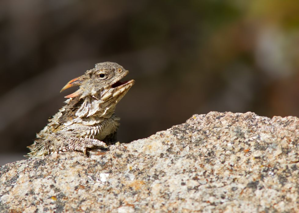 HORNED LIZARD toad lizards wallpaper