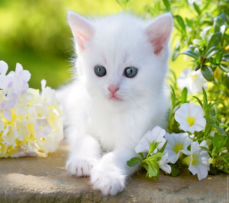baby kitty blue eyes white cute flower animal cat wallpaper