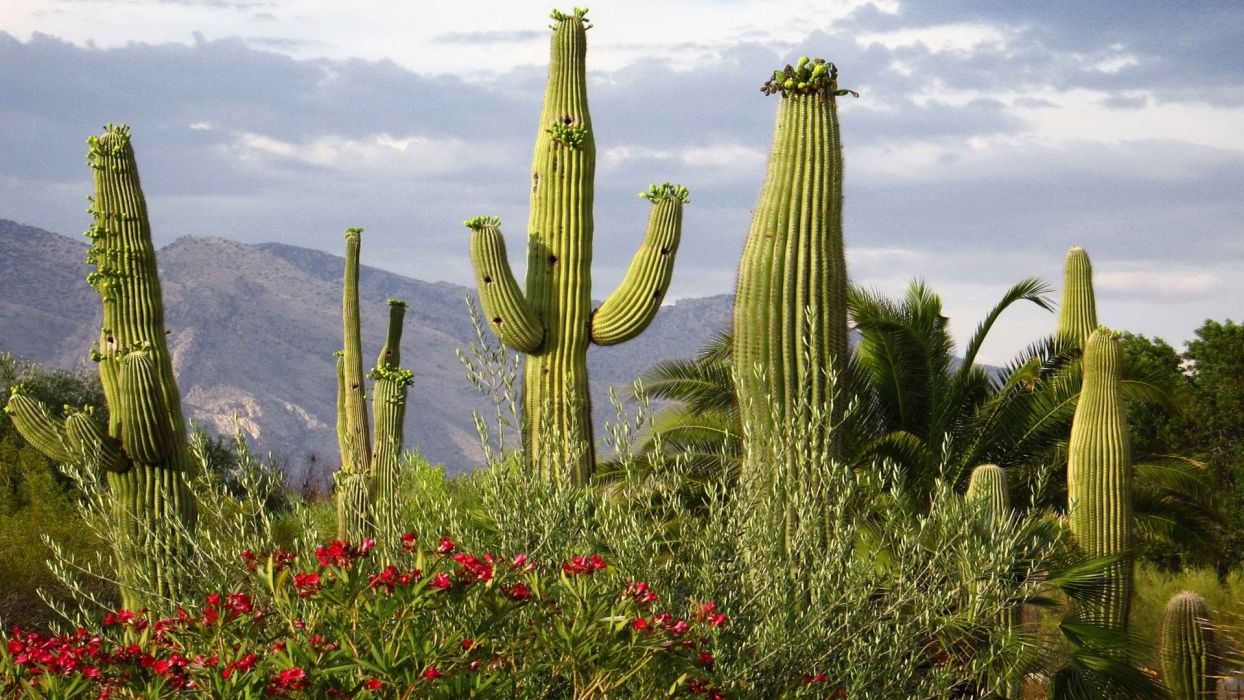 cactus mountains flowers plants Arizona wallpaper