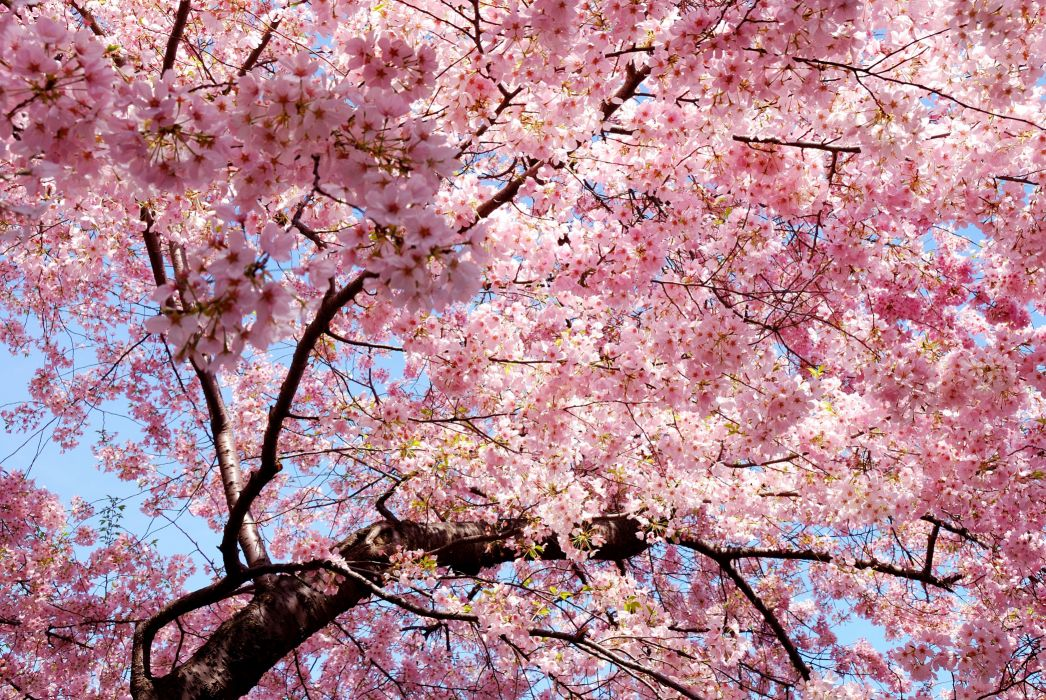 sakura branch east spring sakura japan petals pink wallpaper