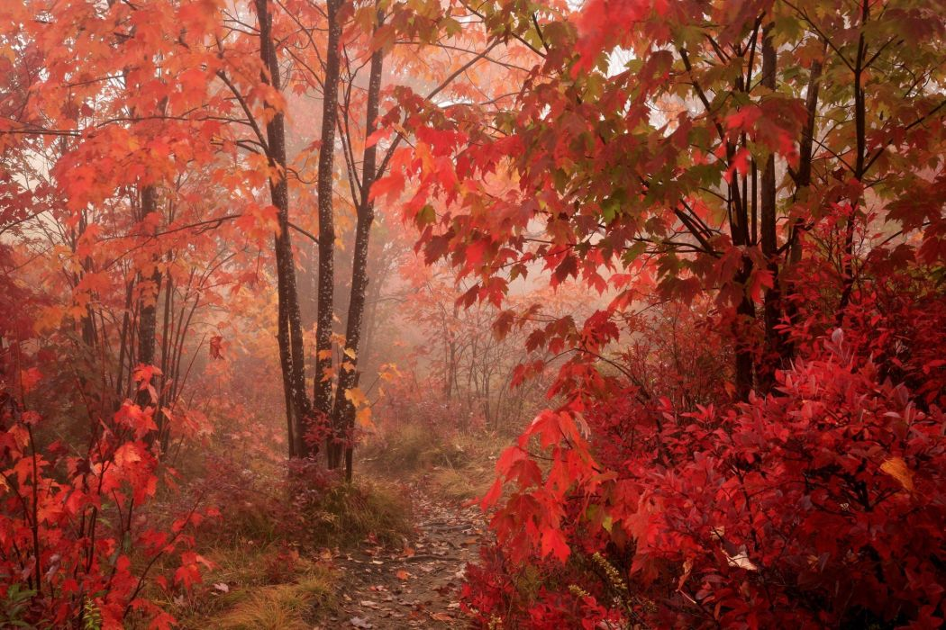 trees forest red foliage wallpaper