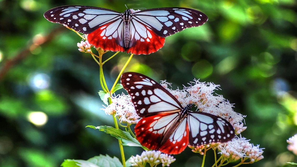 beautiful butterflies red and black and white wallpaper