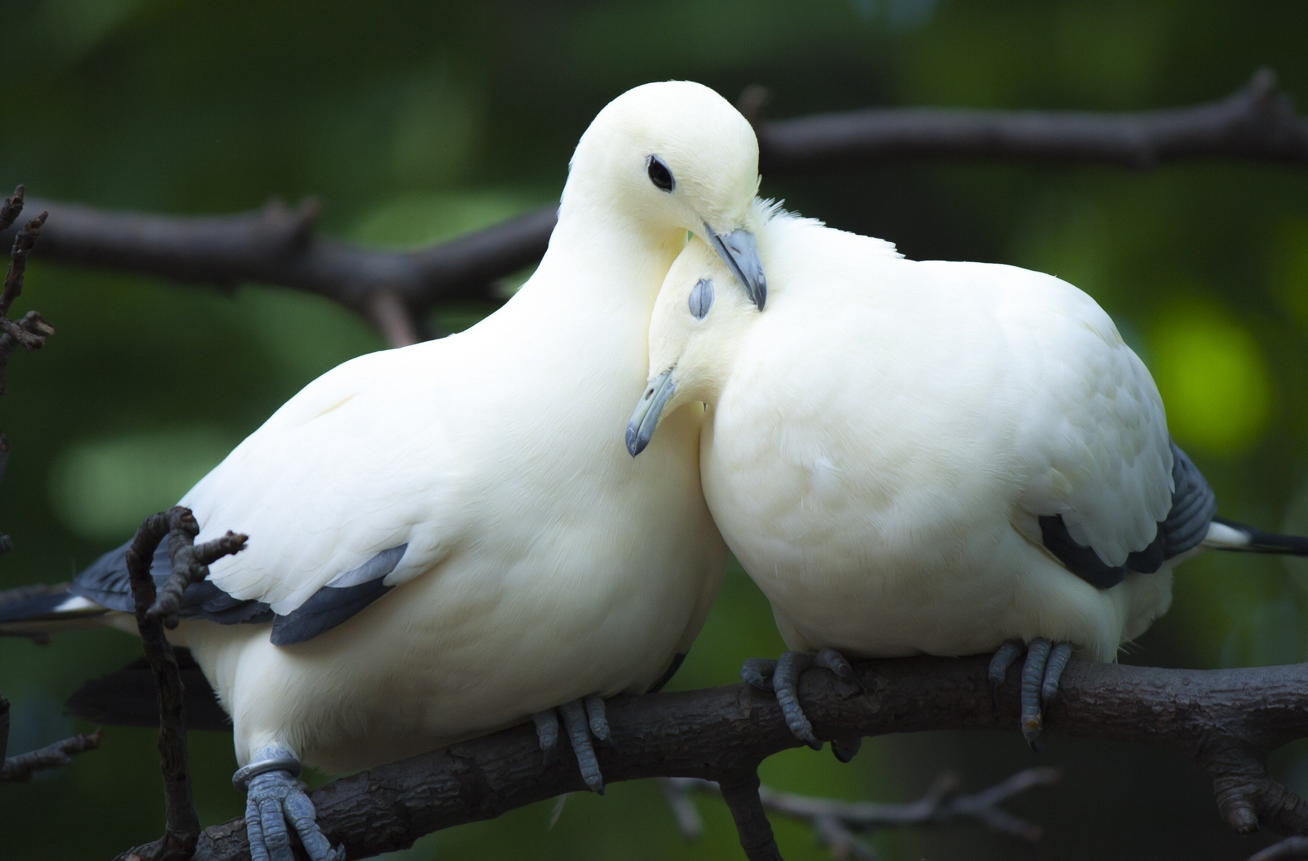 animal dove love bird couple cute wallpaper | 2560x1685 | 533739