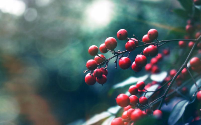 macro plant fruit red wallpaper