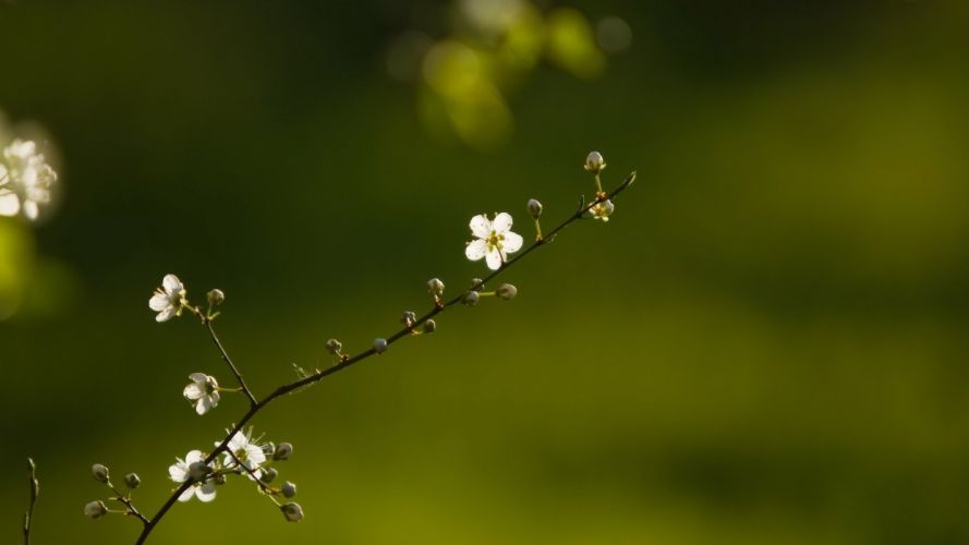 spring branch flowers nature bokeh macrp blossoms wallpaper