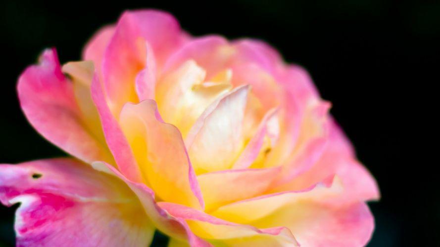 flower nature plant beautiful petals colorful flowers wallpaper