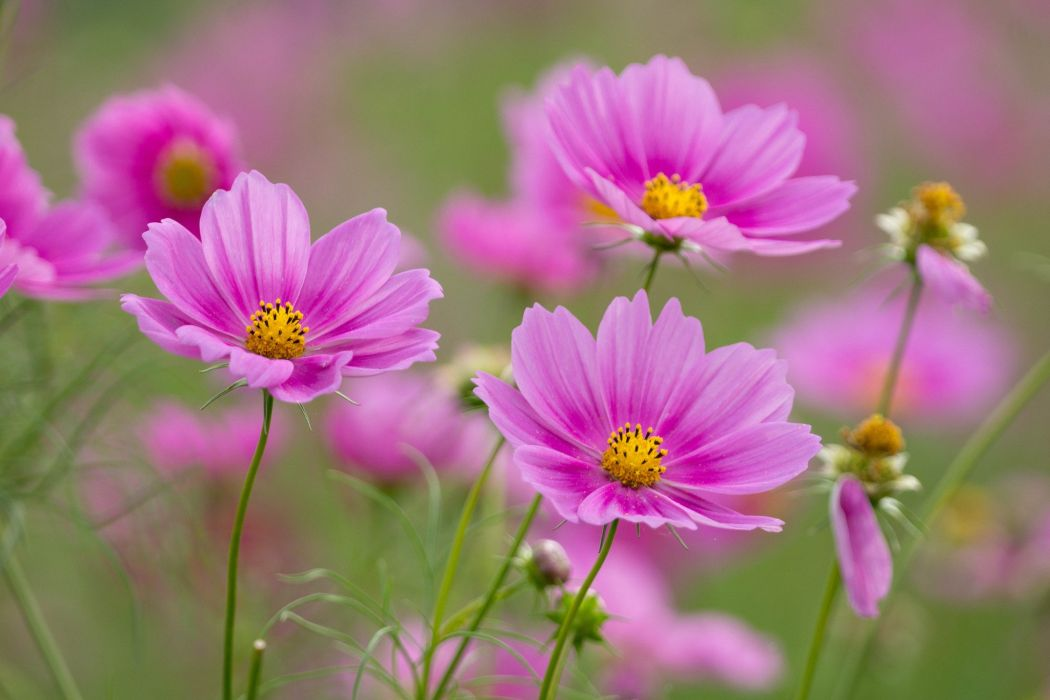 Flower nature plant beautiful colorful flowers pink wallpaper