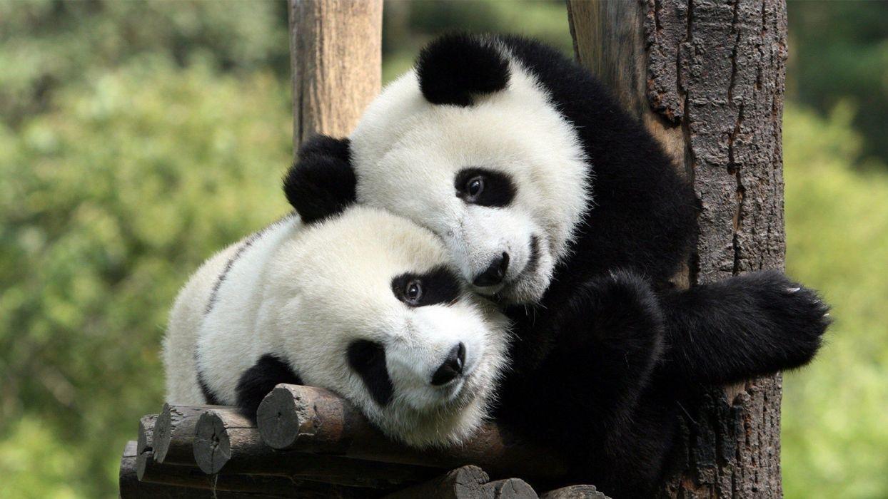 nature animals panda bears mammals wallpaper