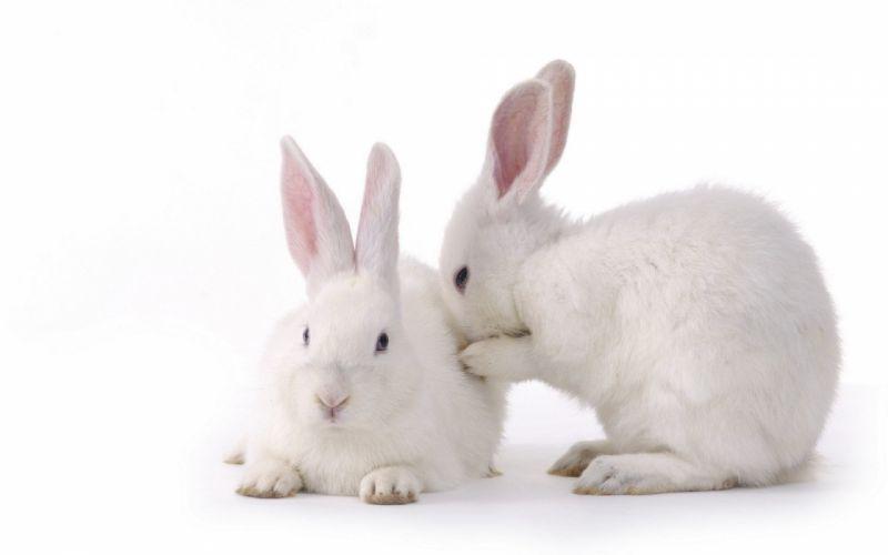 bunnies animals simple background wallpaper