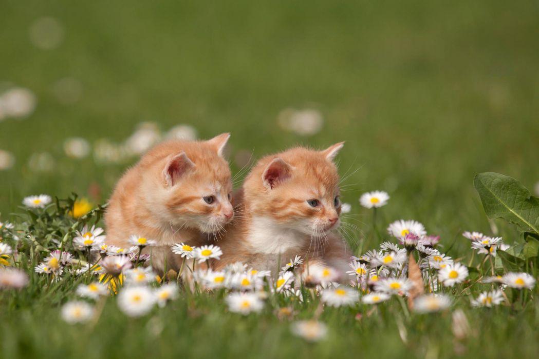 Kittens Redheads grass Flowers wallpaper