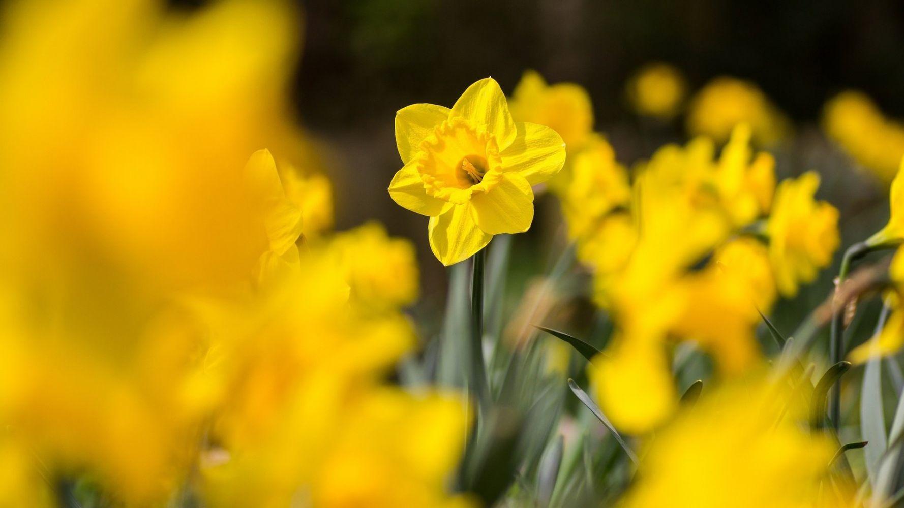 картинки с желтыми цветами телефон таком