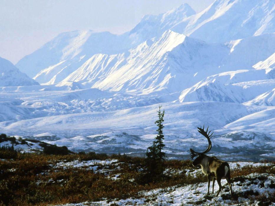 winter snow elk deer landscape wallpaper