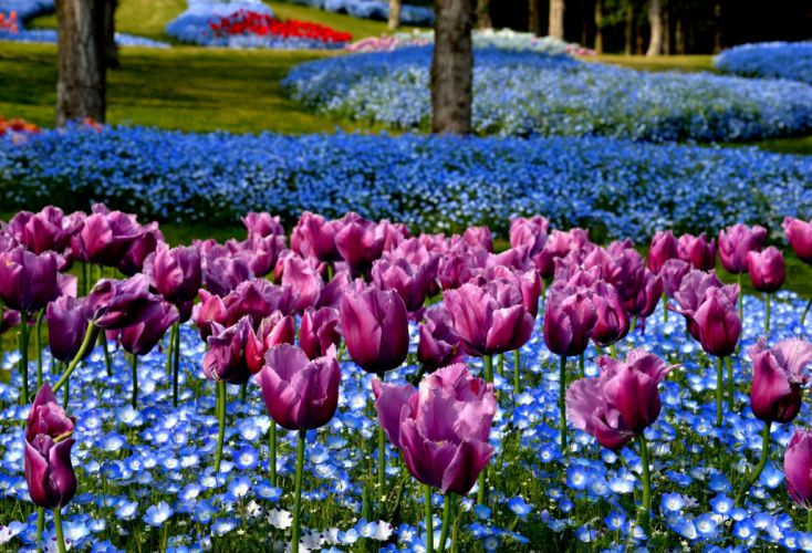 Park Tulips Nature Flowers Japan Akashi Kaikyo National Government Park wallpaper
