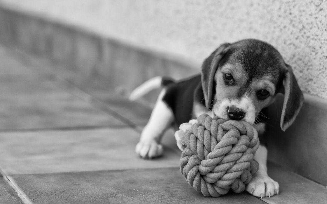 beagle dog puppy baby wallpaper