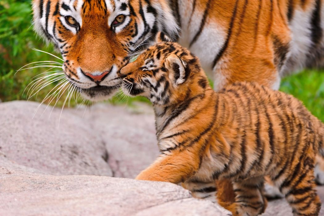 big cat animal tiger baby wallpaper