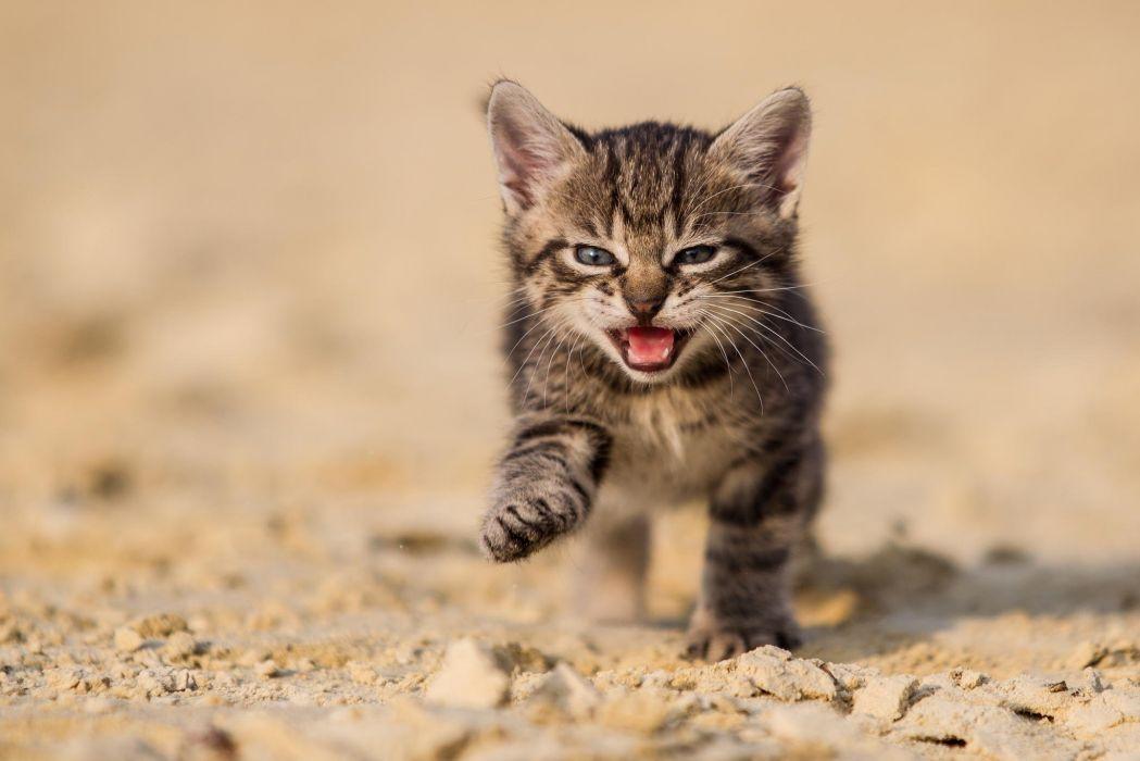 cat kitten baby wallpaper