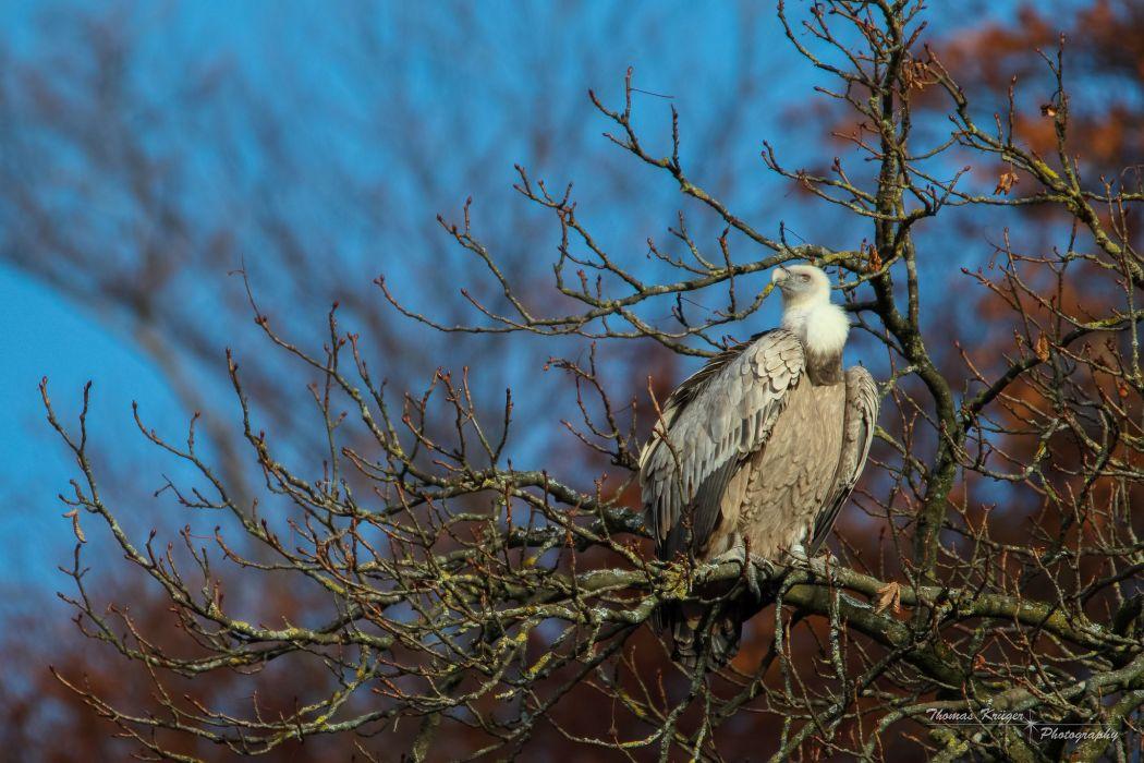 bird vulture tree branch wallpaper