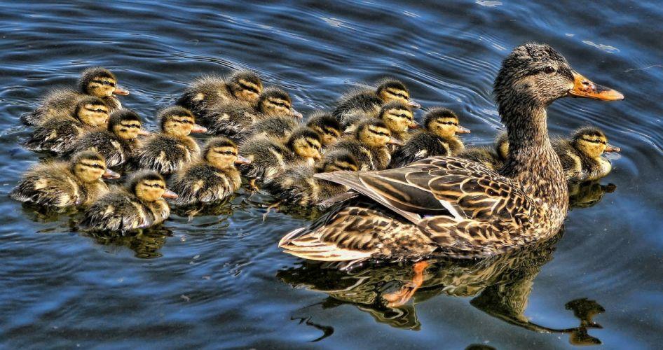 duck ducklings brood baby wallpaper