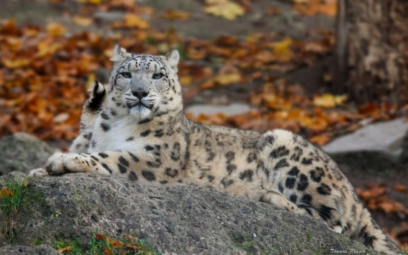 snow leopard wild cat carnivore stone wallpaper