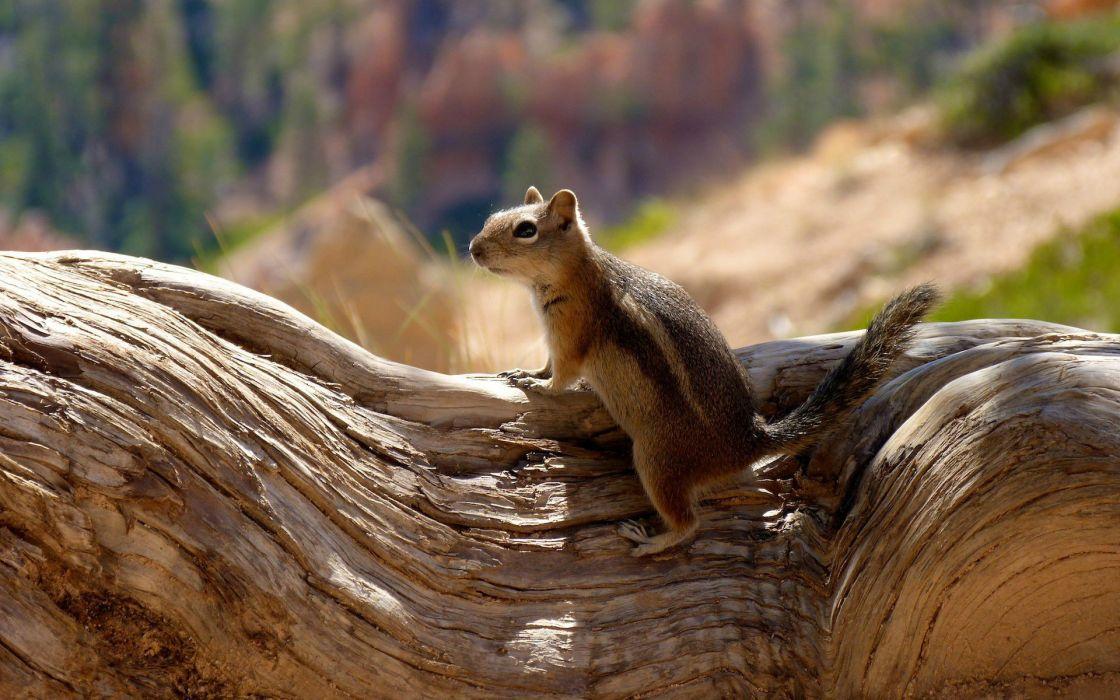 Chipmunk rodent animal squirrel wallpaper