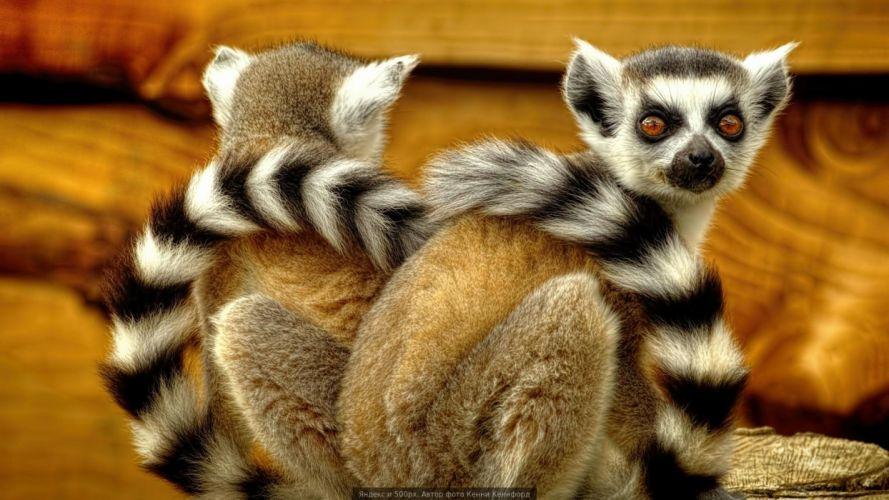 lemurs lemur eyes wallpaper