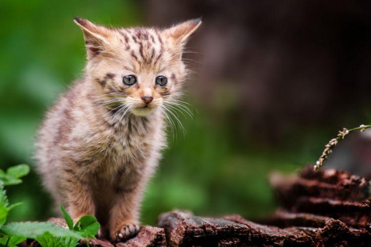 forest wild gray kitten baby cat wallpaper