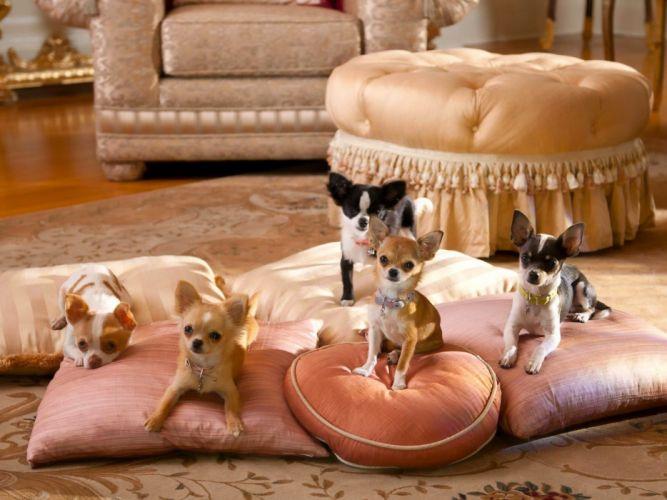 dog chihuahua pillow wallpaper