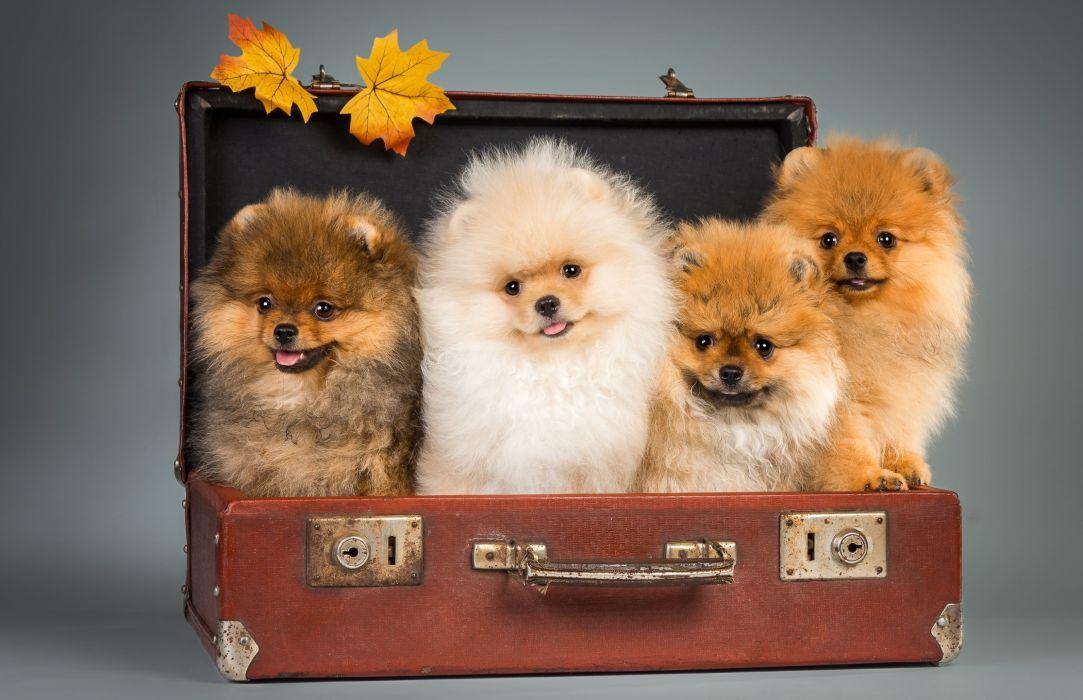Pomeranian Puppy Fur Look Cute Dog Autumn Wallpaper 2800x1810