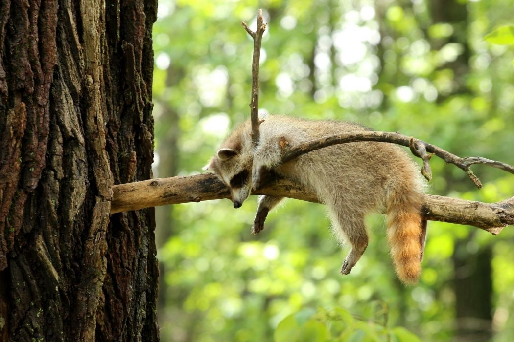 raccoon tree branch forest wallpaper