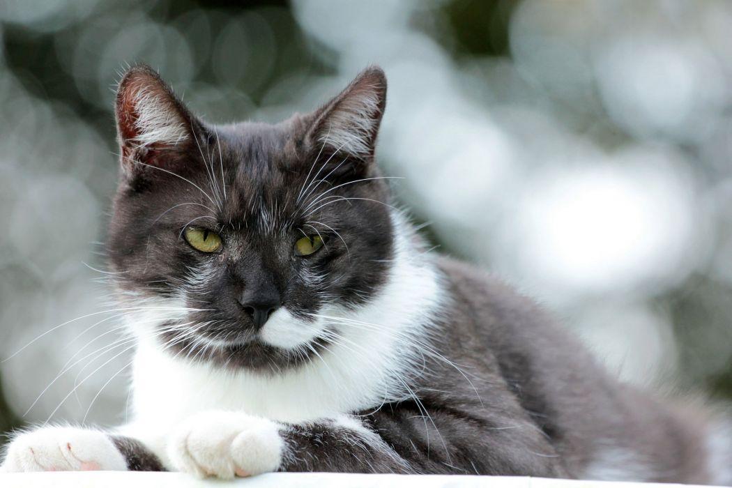 white and black cat wallpaper